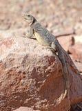 Chuckwalla蜥蜴在沙漠环境里 库存照片
