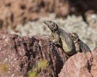 Chuckwalla蜥蜴大型蜥蜴ater 免版税图库摄影
