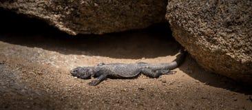 Chuckwalla蜥蜴阿拉巴马小山 图库摄影