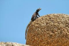 Chuckwalla ödla i en vagga i Joshua Tree National Park Royaltyfri Foto