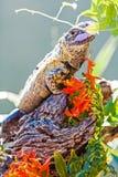 Chuckwalla που τρώει το λουλούδι στον κλάδο Στοκ Εικόνες