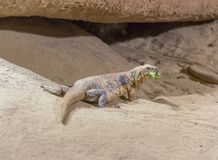 Chuckwalla в атмосфере пустыни Стоковое фото RF