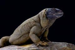 Chuckwalla острова Анджела (hispidus Sauromalus) Стоковая Фотография