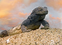 Chuckwalla 1. Chuckwalla lizard on the sand Royalty Free Stock Photos