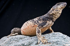 Chuckwalla Royalty Free Stock Images