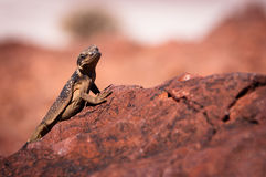 Chuckwalla Royalty Free Stock Photo
