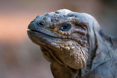 Chuckwalla Stock Images