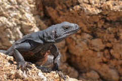 Chuckwalla Stock Photos