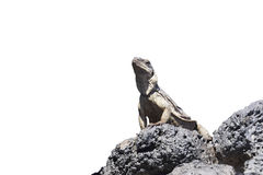 Chuckwalla Obrazy Stock