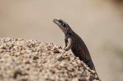 Chuckwalla basking in sunlight Stock Photo