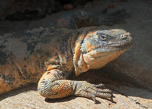 Chuckwalla. Close Up Detail Portrait of Southwest Lizard Sitting In Sun Royalty Free Stock Photo