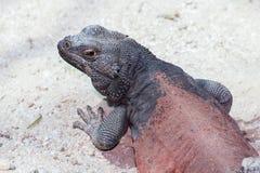 Chuckwalla. A closeup of a chuckwalla lizard Stock Photos