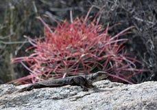 Chuckwalla i kaktus Obrazy Stock
