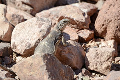 Chuckwalla jaszczurka w pustynnym środowisku Obrazy Royalty Free