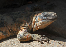 Chuckwalla. Large desert lizard hiding in small cave Royalty Free Stock Photos