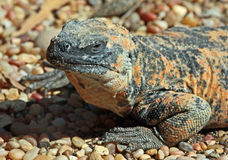 Chuckwalla Stock Photo