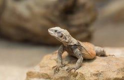 Chuckwalla lizard on rock Royalty Free Stock Images