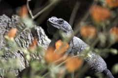 Chuckwalla lizard Sauromalus obesus Royalty Free Stock Image