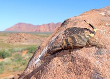 Chuckwalla lizard, Sauromalus obesus Stock Photo