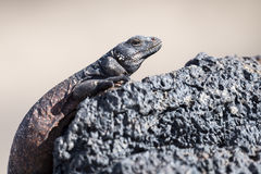 Chuckwalla Lizard Stock Photography