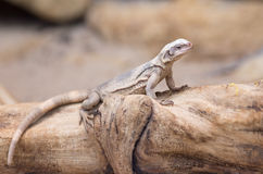 Chuckwalla lizard on trunk Stock Images