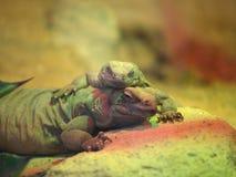 Chuckwalla lizards. 2 Chuckwalla lizards (Sauromalus ater Stock Image
