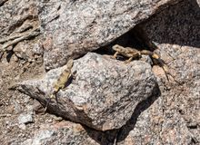 Chuckwalla Lizards on a rocky cliff. Two Chuckwallas sunning on the rocks Royalty Free Stock Photos
