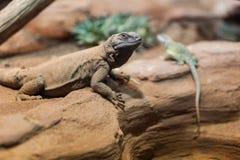 Chuckwalla lounging на утесе с восточной collared ящерицей Стоковая Фотография