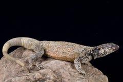 Chuckwalla (Sauromalus ater) Στοκ Φωτογραφίες
