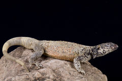 Chuckwalla (Sauromalus ater) Stock Photos