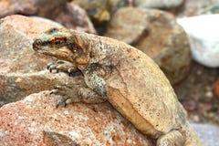 Chuckwalla (Sauromalusobesus) Royaltyfri Bild