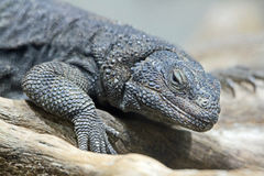 Chuckwalla Royalty Free Stock Image