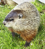 Chucky the Woodchuck Stock Photography