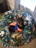 Chuco de mengeling van Chihuahua Rottweiler stock foto's