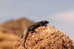 Chucwalla σε έναν βράχο στοκ φωτογραφία με δικαίωμα ελεύθερης χρήσης