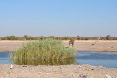 Chudop waterhole i den Etosha nationalparken, Arkivbild