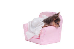 Chuhuahua in a bed with blanket ready to sleep. Chihuahua puppy is getting ready to go to sleep in a nice pink armchair isolated on white background Stock Photos