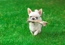 Chuhuahua and bone on a summer day Stock Images