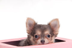 Chuhuahua Hund in einem Kasten lizenzfreies stockfoto