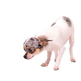 Chuhuahua sniffing something at the floor Stock Images