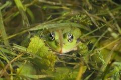 chujący bullfrog oczy Fotografia Royalty Free