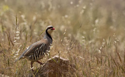 Chukar (Alectoris chukar) Royalty Free Stock Photography