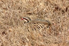 Chukar Bird. Lying in dried grass as camouflage royalty free stock photography