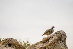 Chukar, das auf einem Felsen in Nord-Utah steht stockfotos