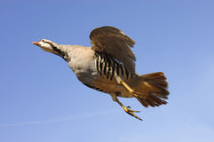Chukar in flight Royalty Free Stock Image