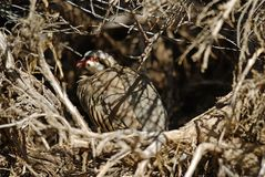 Chukar in hiding Stock Image
