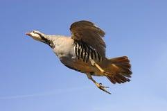 Chukar no vôo Imagem de Stock Royalty Free
