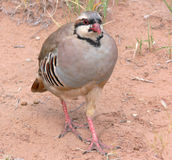 Chukar Partridge. Colorful Chukar Partridge in the Western U.S. desert Royalty Free Stock Images