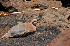 Chukar Partridge Royalty Free Stock Photography