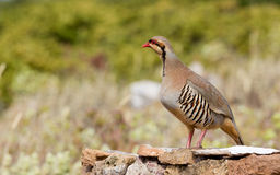 Chukar Partridge (Alectoris chukar) Royalty Free Stock Images